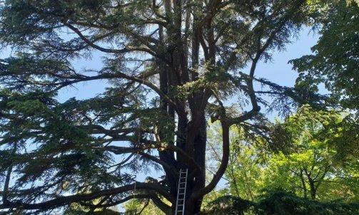 Taille bois mort cèdre centenaire Francheville